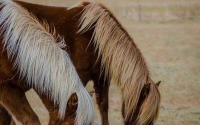 Icelandic Horses shot by Joseph Large